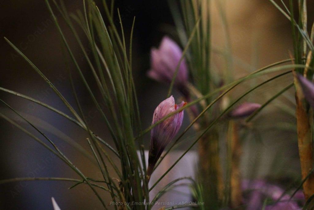 La raccolta dello zafferano - fiore